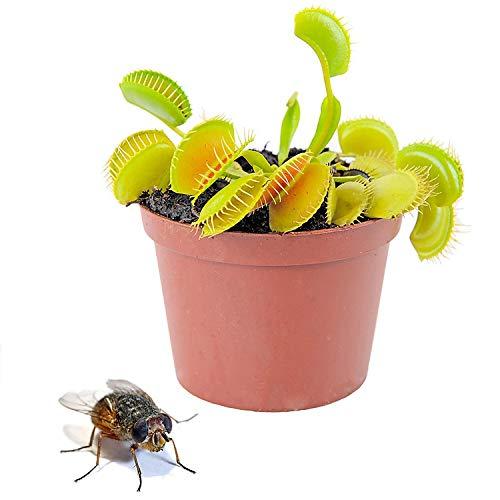Planta Carnívora Venus Atrapamoscas Dionaea Muscipula en Ma