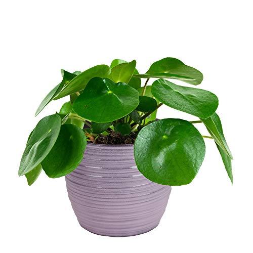 Plantes d'intérieur de Botanicly – 2 × Plante à monnaie chinoise en pot céramique comme un ensemble – Hauteur: 20 cm – Pilea Peperomioides