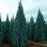VISA STORE Arizona Semillas de semillas (Cupressus arizonica) 50 + Semillas