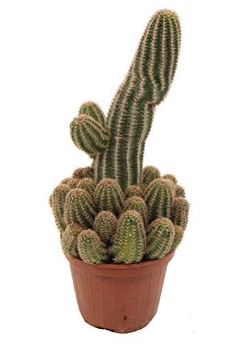 Cactus et plante grasse de Botanicly – Cactus de l'arachide – Hauteur: 24 cm – Chamaelobivia Erecta