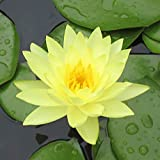 Live Water Lilies Rhizomes (Tubers) | Pre-Grown Hardy Lilies in White, Red, Yellow, Pink (Yellow)