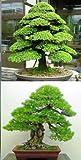 Seedsown Bonsai cedro japons Semillas y semillas de Pinus Thunbergii rbol