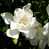Southern Living Plant Collection 2096Q 2.5 Qt-Jubilation Gardenia Blooming Shrub, White, Green