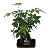 Plante d'intérieur de Botanicly – Lova Arbre-Ombrelle en pierre 'Lava 4' comme un ensemble – Hauteur: 48 cm – Schefflera