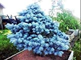 Semillas Semillas Bonsai azul Abeto Picea pungens rbol de hoja perenne 100 partculas / bolsa 10