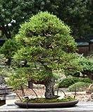 VISA STORE 25 semillas de Monterey B1749 (Cupressus macrocarpa)