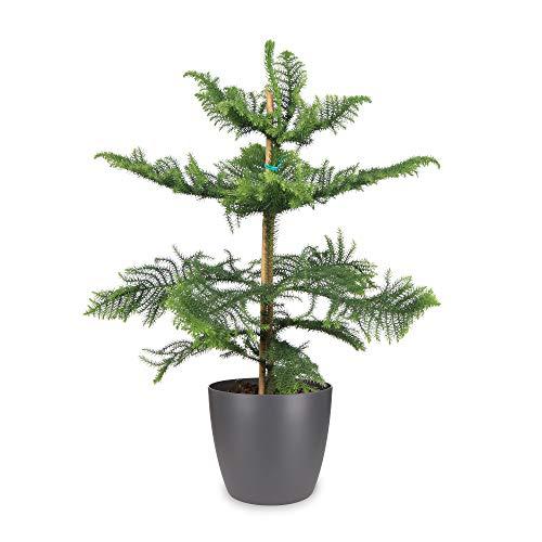Plante d'intérieur de Botanicly – Pin de Norfolk en pot de fleur anthracite comme un ensemble – Hauteur: 85 cm – Araucaria