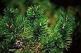 Shopvise 5 Semillas de pino australiano D4508 (Pinus taza. VAR. Nigra)