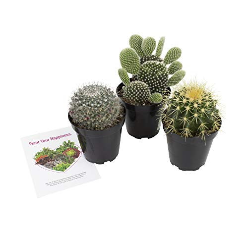 Altman Plants Assorted Live Cactus Collection large real cacti for planters or gifts, 3.5 Inch,3 Pack
