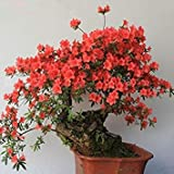 ASTONISH SEEDS: A6: 100 PC/paquete raras Bonsai 13 variedades de Azalea semillas DIY Hogar y jardn Plantas forma de semillas de cerezo japons Sakura floraciones de la flor