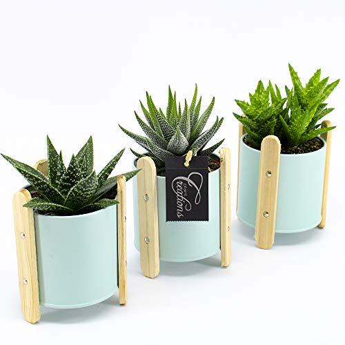 Cactus et plante grasse de Botanicly – Succulents – Hauteur: 10 cm – Succulentus Mini
