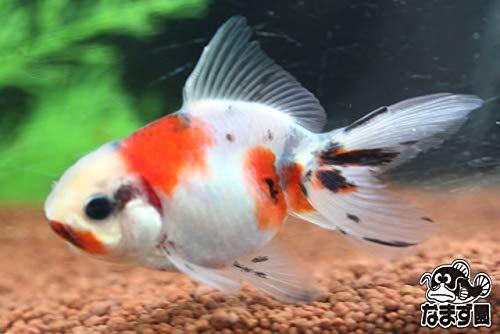 国産金魚 東錦 2才魚 1匹 全長約5~7cm (生体0107-16)