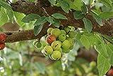 UEYR Fig 20 Semillas Tropical - Bonsai o racemosa Standard Rugosa Bark Cluster Fig Ficus