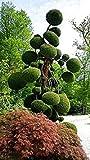 VISTARIC 5: 30pcs / bolsa de semillas gaint Deodara Cedar Semillas cedro del Himalaya Cedrus Deodara World Tree Raras Bonsi Inicio Jardn Planta 5