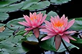 Nenfares naturalesPlanta viva de hoja verde enverdecimiento.Delicadas flores en plena floracin-2,30pcs