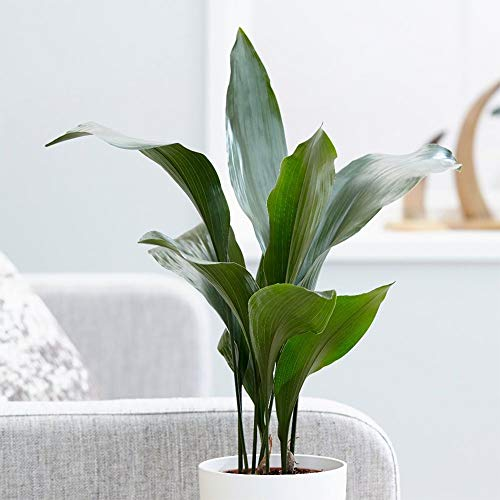 "American Plant Exchange Cast Iron Plant Pet Friendly Live, 6"" Pot, Graceful Indoor Air Purifier"