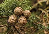 VISA STORE 25 semillas - Monterey Semillas de semillas (Cupressus macrocarpa)