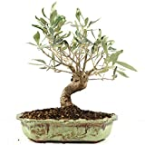 Bonsi Olivo, Olea europaea, 15 aos, altura 26 cm