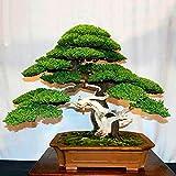 50 semillas de pino Lsgepavion, bonsai Juniperus Chinensis verde para jardn, balcn, Semillas de pino, Semillas de pino, 50pcs