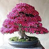ASTONISH SEEDS: A3: 100 PC/paquete raras Bonsai 13 variedades de Azalea semillas DIY Hogar y jardn Plantas forma de semillas de cerezo japons Sakura floraciones de la flor