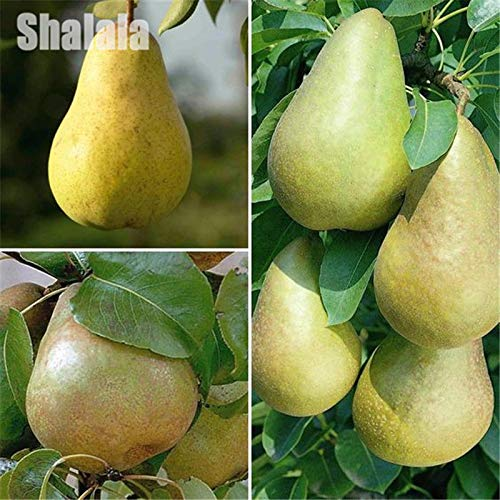 AGROBITS Mini poirier semences Sweet Petits fruits Plante en pot haute Germination Graines 30P