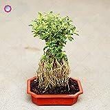 ShopMeeko Semillas: Plantas 200pcs / Bag SERI Bonsai Planta de Maceta rboles Inicio la decoracin del jardn
