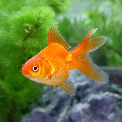 (国産金魚)琉金(リュウキン)(3匹) 本州・四国限定[生体]