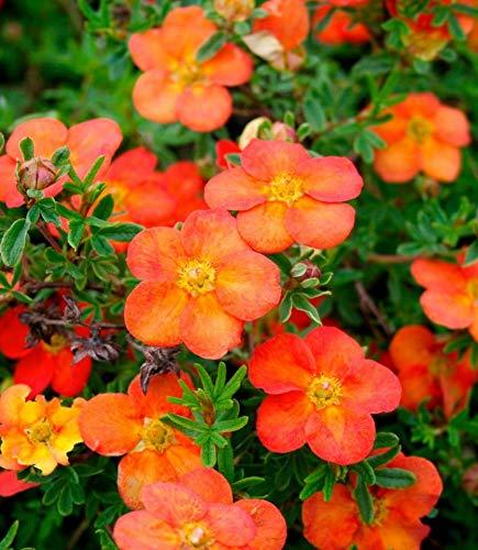 Keland Garten - Raritäten Fingerstrauch \'Red Ace\' Bodendecker bienenfreundlich rotorange bis orangegelb, pflegeleicht Baumsamen Blumensamen winterhart mehrjährig