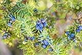 Portal Cool Paquete de semillas: Juniperus communis (Comn Juniper) - favorito para bonsai - 30 semillas