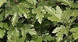 RWS 100 semillas de Ficus afghanistanicus fig montaa MUY RARO !!!