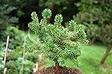 Portal Cool Las semillas del paquete: 2X vivo rboles: 2 Live rbol SeedsPinus pinaster Pinus pinea piedra pino pino pionero