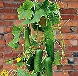 Soteer Seed House - Mini concombre 'Mini Stars' F1 Graine de concombre bio Bio Snack Fruit végétal Graines Fruit vivace durable pour jardin/balcon