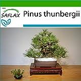 SAFLAX - Pino negro japons - 30 semillas - Con sustrato estril para cultivo - Pinus thunbergii