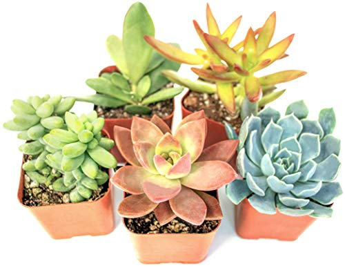 Succulent Plants (5 Pack), Fully Rooted in Planter Pots with Soil -...