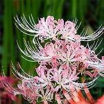 ヒガンバナ属、リコリス 球根 強い耐寒性、陰のような、生きやすいです. 春は秋に植え, 夏の末から秋の初めに花が咲く. 美しい切花です——理想の庭への素晴らしい追加. 注:彼岸花の色は栽培地の酸塩基度と関係があります、場所によって色の違う花が咲きます.