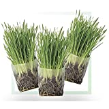 Window Garden Pop Up Cat Grass Kit (3 Pack) – Just Add Water, Seed. The Perfect Size Snack Your Pets Love. Includes Organic Non GMO Wheatgrass Seed and Fiber Soil. Easy Growing, Store and Serve.