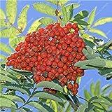 ASTONISH SEEDS: 1: Fraxinus Semilla Semilla Beautifying Ash rbol de hoja caduca extico Bonsai Bai Shu La arbusto de jardn Inicio purificador de aire de 20 PC 1
