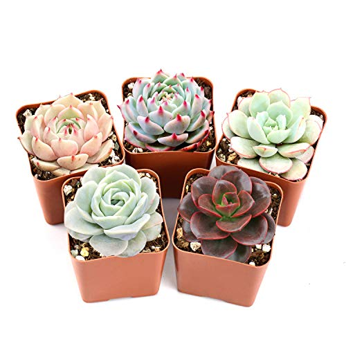 Succulent Plants - Fully Rooted