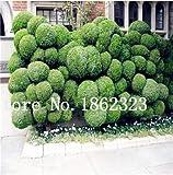Semillas de 60 piezas Mini E El Juniper Semillas Semillas de arranque -Juniperus procumbens para jardn ornamental