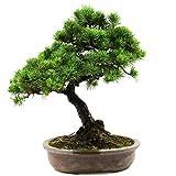 Pino blanco japons, Pinus parviflora, bonsi para exterior, 28 aos, altura 45 cm