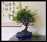 Easy Plants Sageretia Bonsai - Plantas para exteriores en maceta de cermica