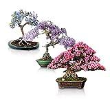 UEYR Bonsais florecientes raz del Paquete - 3 Tipos de Semillas florecientes para Crecer como Bonsai, Wisteria Chino, Judas, Jacaranda