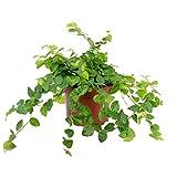 Hummelladen Ficus Pumila - higo trepador (altura: 15 cm, dimetro de maceta: 10 cm), color verde