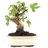 Bonsi, Higuera, Ficus carica, 10 aos, altura 26 cm