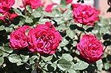 Pianta Cespuglio Rosa In Zolla Perenne 40 Cm Giardino Vaso (Ernest Morse Rosso)