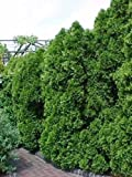 50 semillas - Arborvitae americano, Thuja occidentalis, semillas de rboles (Evergreen Hedge)