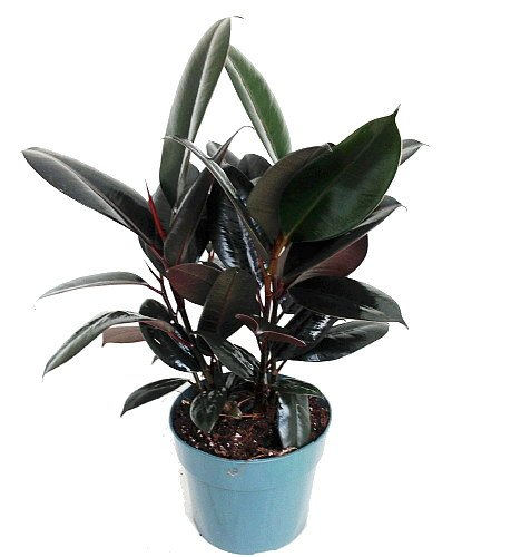 Burgundy Rubber Tree Plant - Ficus - an Old Favorite - 6' Pot