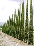 100 Semillas Ciprs Mediterrneo (Cupressus Sempervirens Pyramidalis)