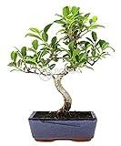 Bonsai - Ficus, 8 Aos (Bonsai Sei - Ficus Retusa)