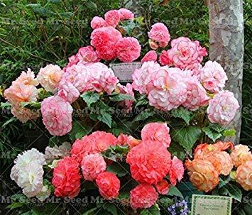 100pcs / Sac Begonia semences, Couleurs mélangées Graines de Fleurs Begonia Begonia Graine Plante en Pot familiale Jardin Balcon 8